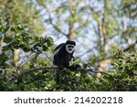 De Brazza Monkey In Treetops...