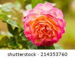 Stock photo closeup of beautiful orange rose in garden 214353760