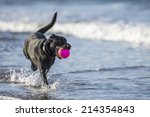 Stock photo black labrador dog running towards camera in the sea carrying a ball 214354843