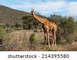 reticulated giraffe  giraffa... | Shutterstock . vector #214395580