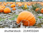 Pumpkin Patch Field With...