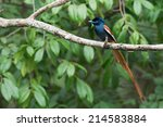 Small photo of A male African Paradise Flycatcher (Terpsiphone viridis) perched on a branch