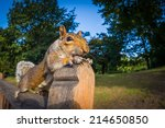 Grey Squirrel Close Up On A...