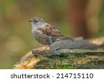 a common hedge sparrow also... | Shutterstock . vector #214715110
