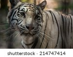 white tiger | Shutterstock . vector #214747414