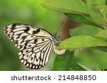 Large Tree Nymphs Butterfly An...