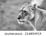A Side Profile Of A Lioness In...