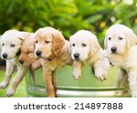 Stock photo adorable group of golden retriever puppies in the yard 214897888