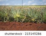Field Of Pineapple Plantation...