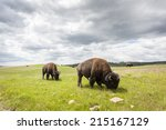 Beautiful Buffaloes In...