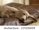 Stock photo dog asleep on leather bed at home 215230039