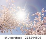 Japanese Cherry Trees And...