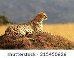 A Cheetah  Acinonyx Jubatus  O...