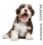 Stock photo funny yawning chocolate and white colored havanese puppy dog is sitting isolated on white 215596768