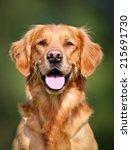 Purebred Golden Retriever Dog...