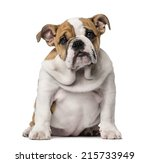 Stock photo english bulldog puppy months old 215733949
