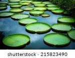 Huge Floating Lotus Giant...