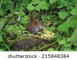 a bank vole foraging in the... | Shutterstock . vector #215848384