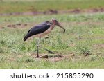 Ugly Marabou Stork Looking For...