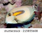 Small photo of Orange band Surgeonfish (Acanthurus olivaceus) marine fish