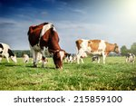 Stock photo herd of cows at summer green field 215859100
