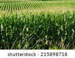 Cornstalks And Tassels In A...