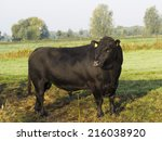 Black Aberdeen Angus Pedigree...