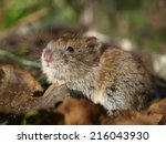 Bank Vole (Clethrionomys glareolus) on the Forest Floor between Leaves - stock photo