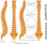 the spinal column. the spinal... | Shutterstock .eps vector #216057970