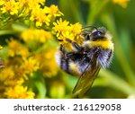 Bumblebee  Bombus Pascuorum  O...