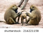 Guinea Baboon Family  Papio...