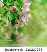 apple tree flower blossoming at ...