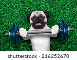 Stock photo pug dog as personal trainer lifting a very heavy dumbbell bar having trouble with it 216252670