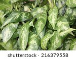 Small photo of Aglaonema leaves (Aglaonema commutatum)