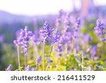 lavender in the garden | Shutterstock . vector #216411529