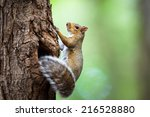 Eastern Grey Squirrel  Sciurus...