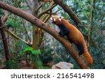 Red Panda Or Red Raccoon...
