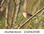 sedge warbler perching on a... | Shutterstock . vector #216562438
