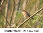 sedge warbler perching on a... | Shutterstock . vector #216562450