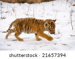 Walk Of A Small Tiger