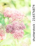 Small photo of Beautiful flowers of Spiraea japonica (Japanese spiraea), toned closeup shot