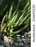 Small photo of Cephalophyllum Shuhou, AIZOACEAE, South Africa