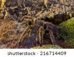 Spider Before His Burrow