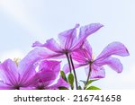 Purple Clematis Flowers And Th...
