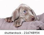 Stock photo weimaraner puppy 216748954