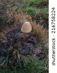 Small photo of Mushroom (Anellaria Semiovata) on cow dung