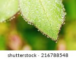 Closeup of water drops on rose leaf during morning hours with short depth of field  - stock photo