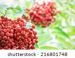 Close up bright rowan berries on a tree during evening, Sweden  - stock photo