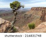 Utah Juniper  Juniperus...