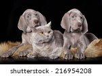 Stock photo cocker spaniel puppy and british cat 216954208